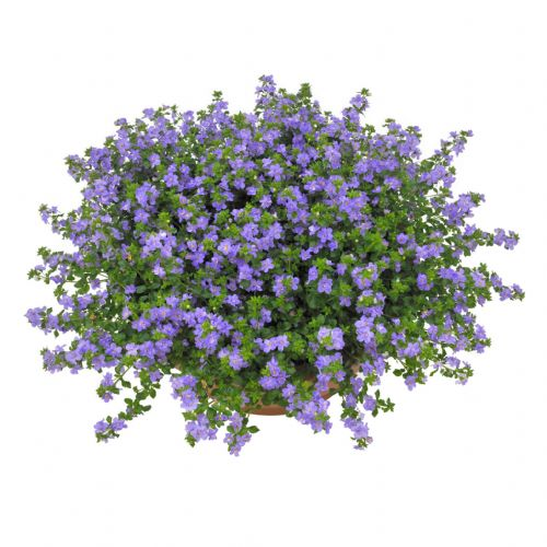 Bacopa Giant Blue
